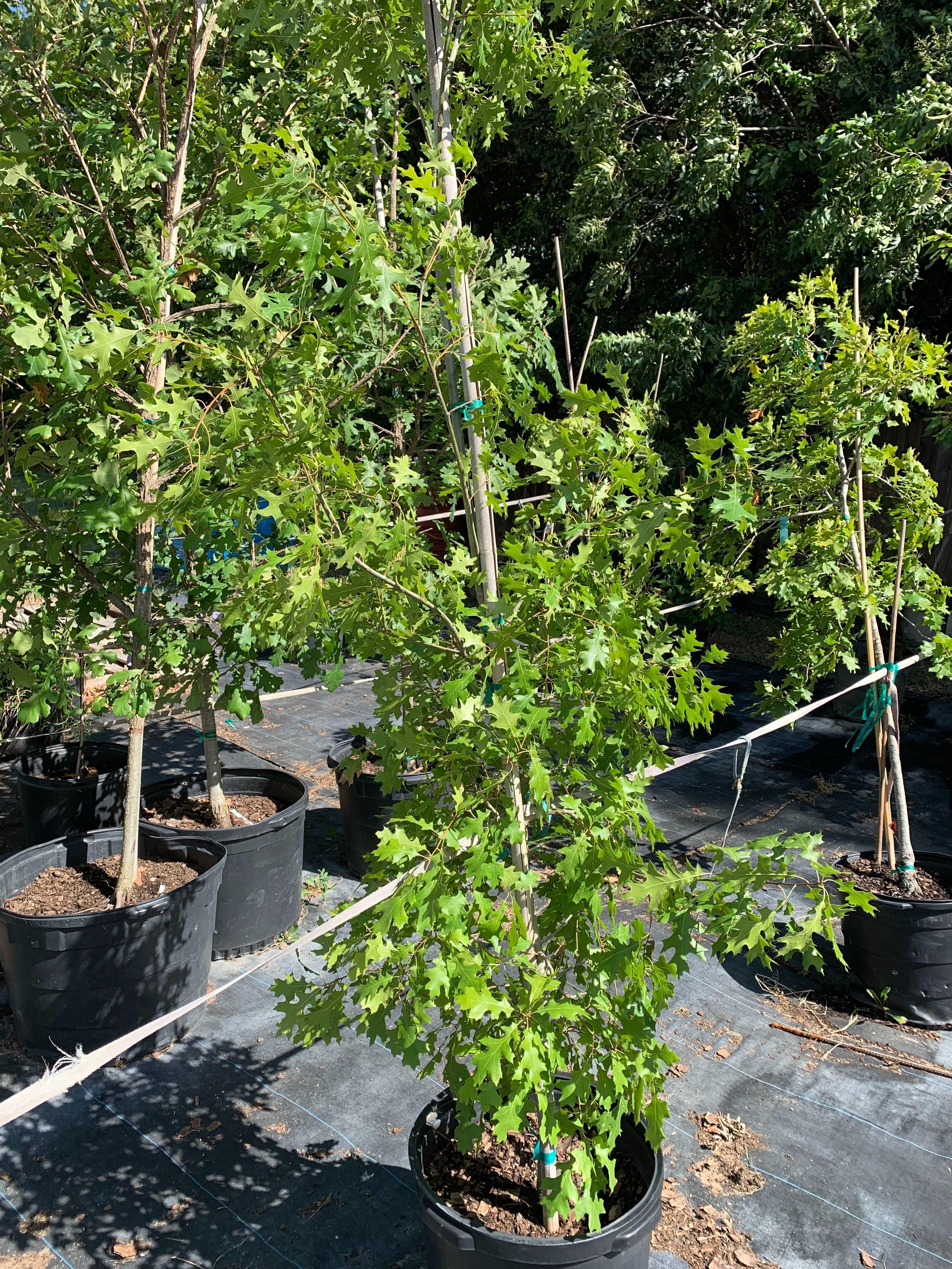 eldreds nursery tree