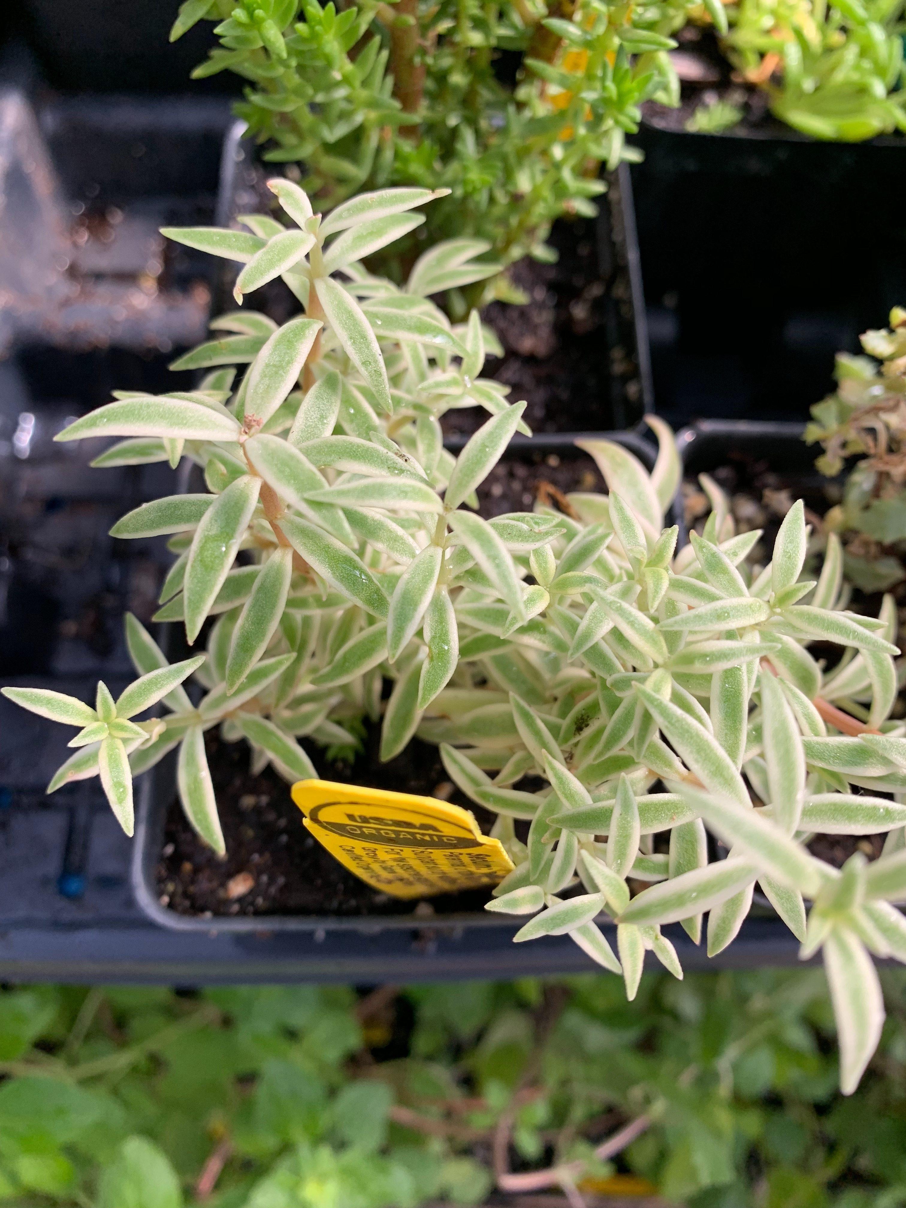 eldreds succulents