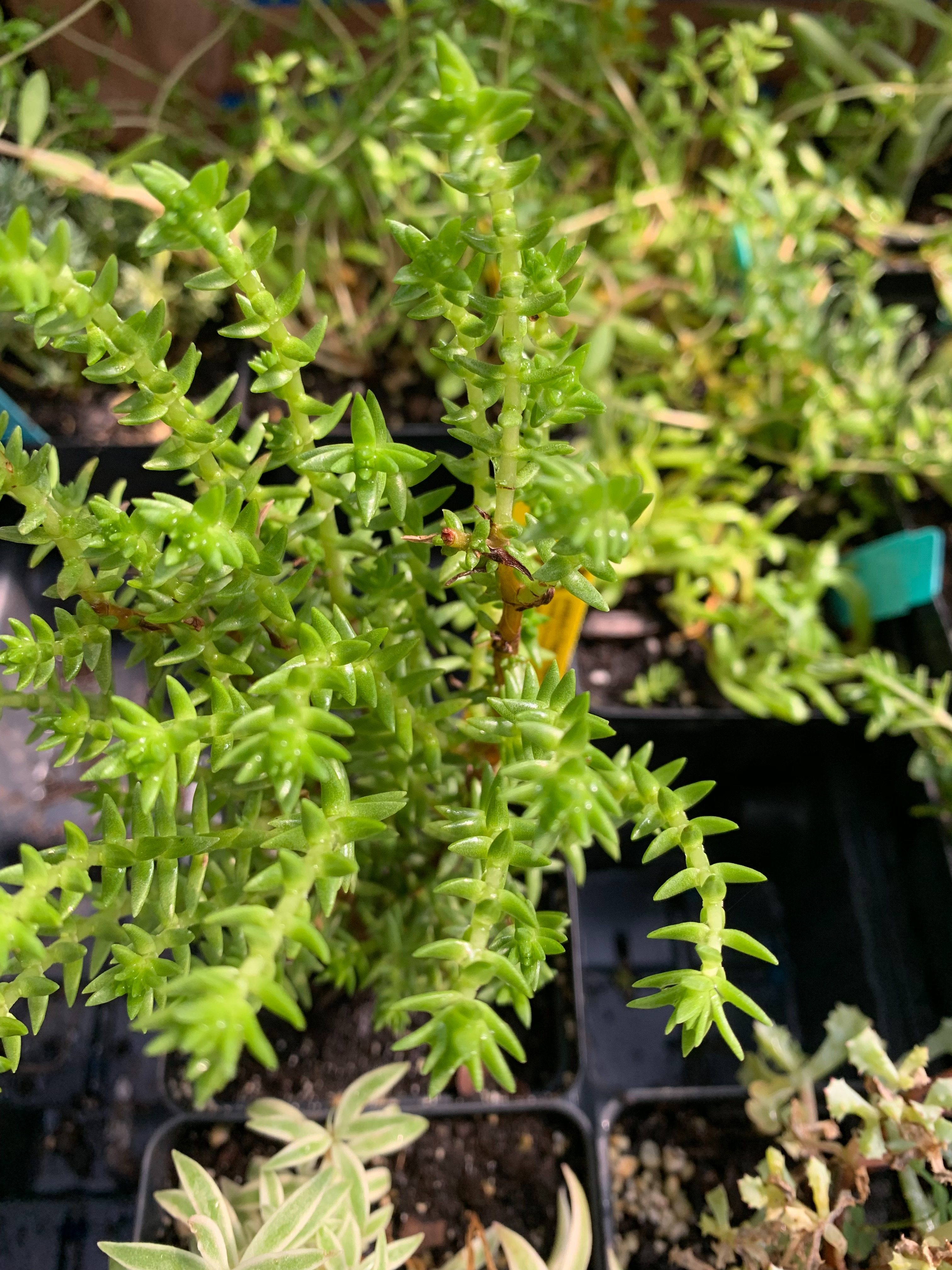 eldreds nursery succulent