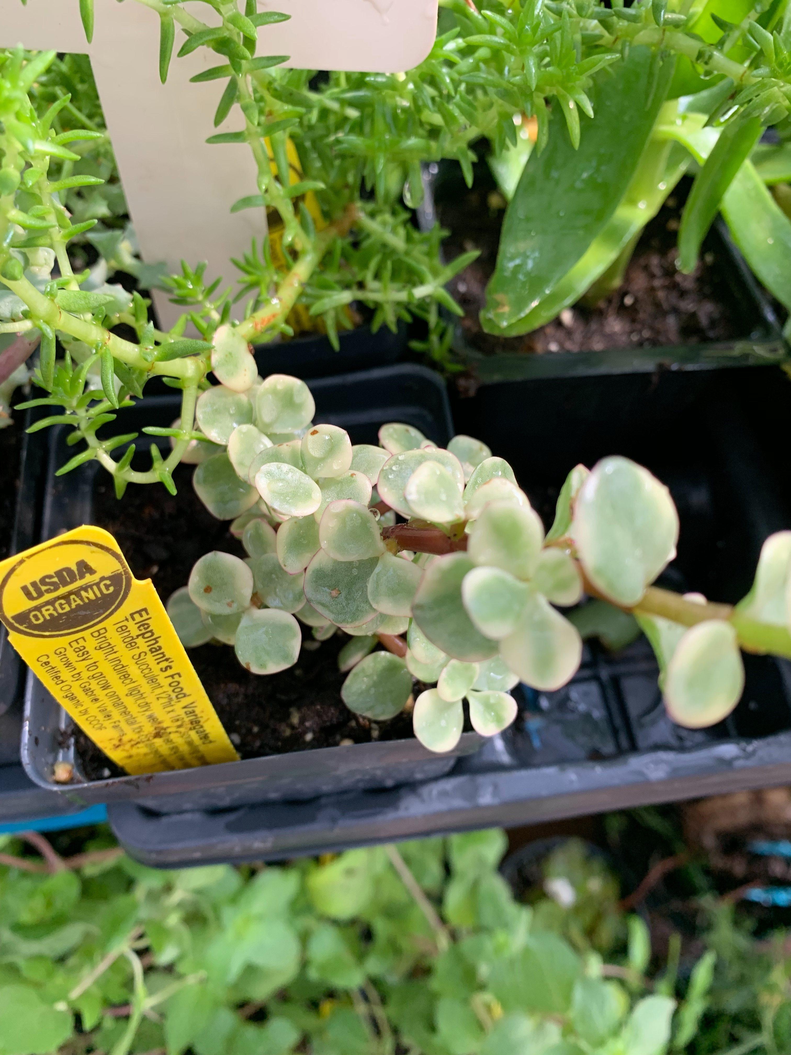 usda organic succulents
