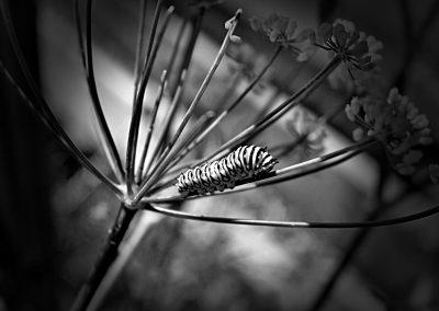 black and white caterpillar